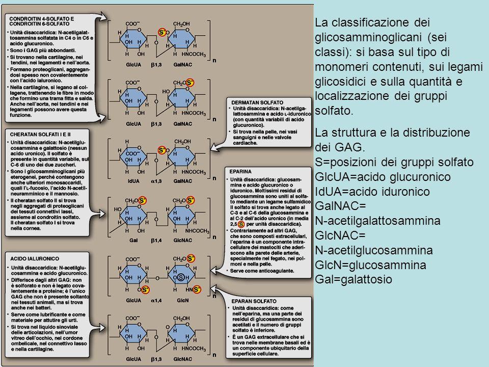 La classificazione dei glicosamminoglicani (sei classi): si basa sul tipo di monomeri contenuti, sui legami glicosidici e sulla quantità e localizzazione dei gruppi solfato.