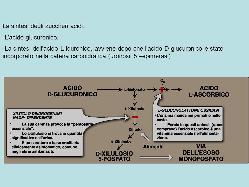 La sintesi degli zuccheri acidi: