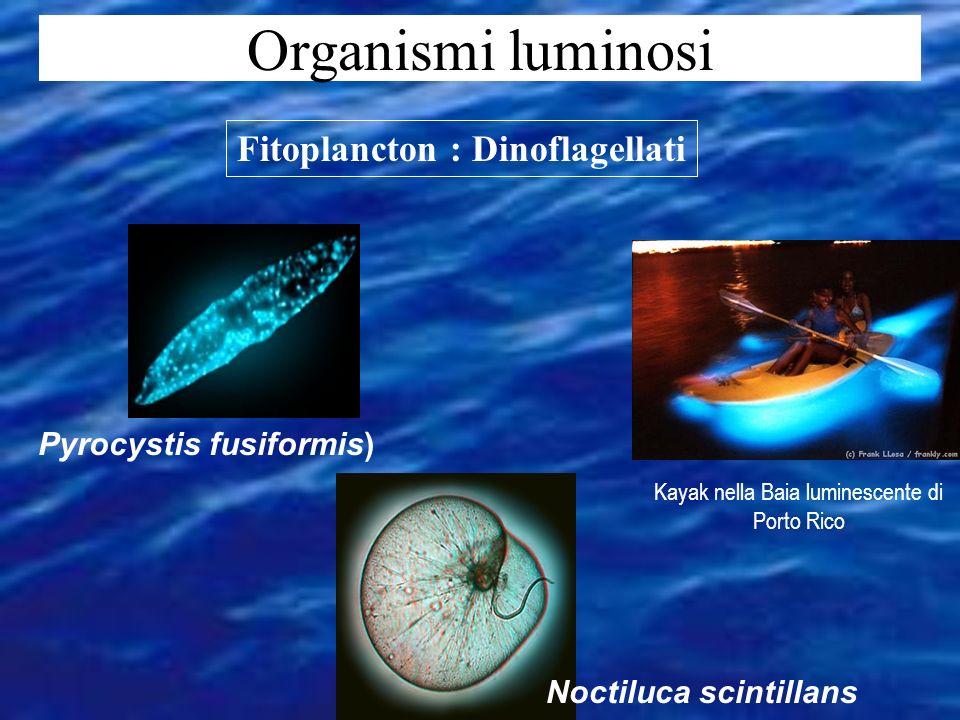 Fitoplancton : Dinoflagellati Pyrocystis fusiformis)