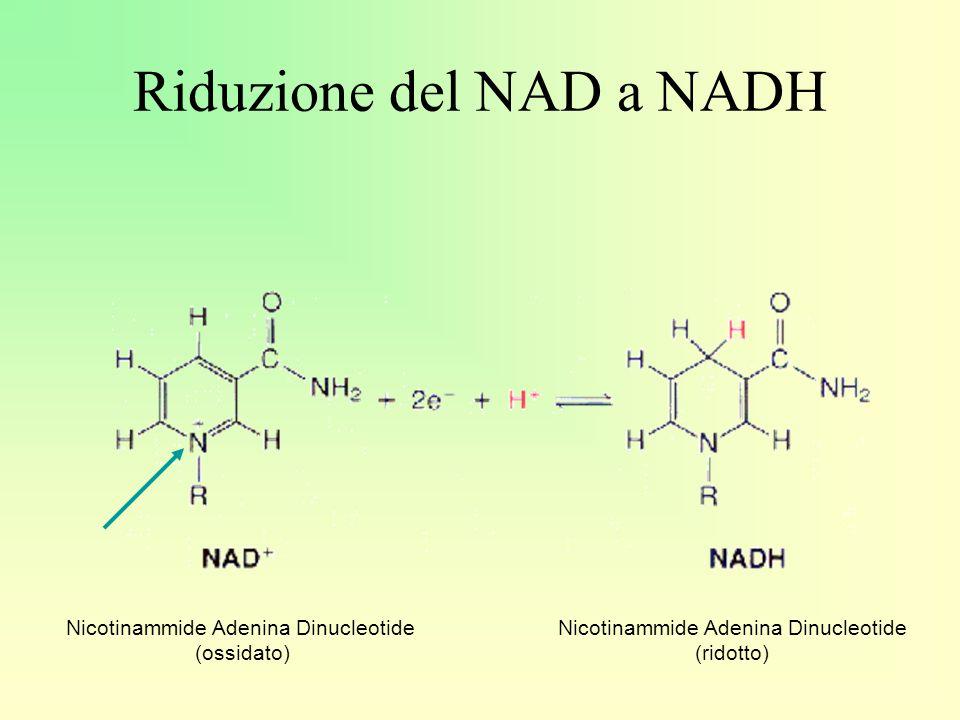 Riduzione del NAD a NADH
