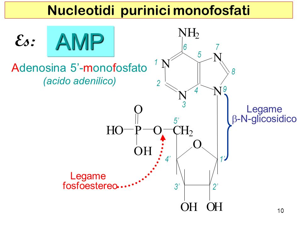 AMP Es: Nucleotidi purinici monofosfati O H N C P