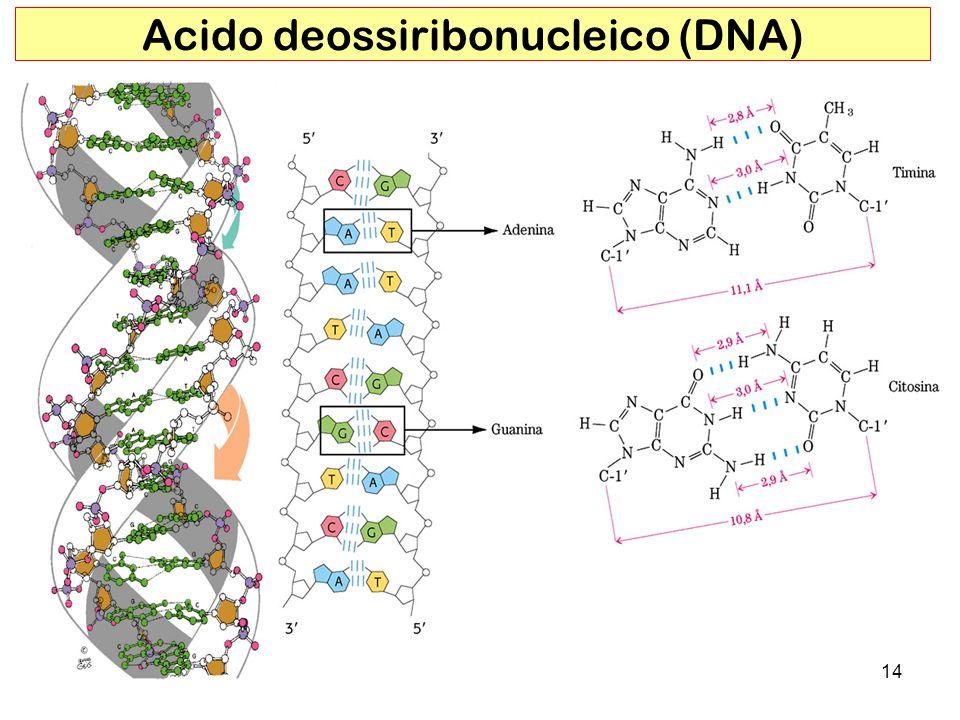 Acido deossiribonucleico (DNA)
