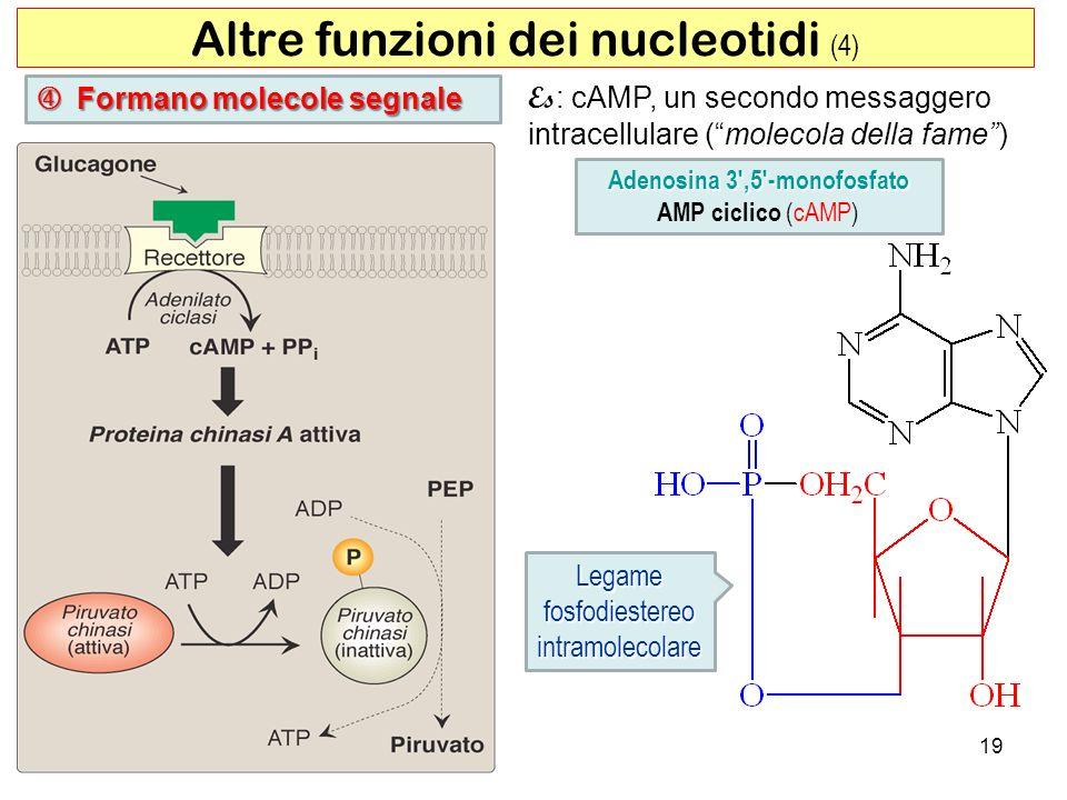Adenosina 3 ,5 -monofosfato
