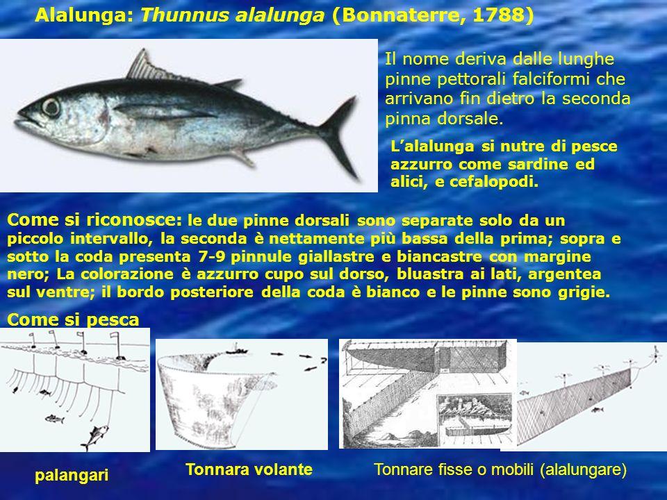 Perch importante il pesce ppt video online scaricare for Pettorali diversi