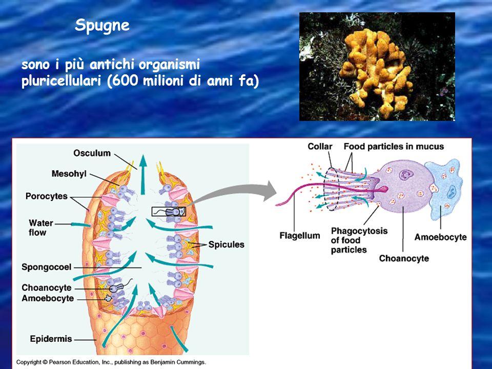 Spugne sono i più antichi organismi