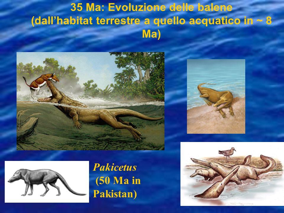 35 Ma: Evoluzione delle balene (dall'habitat terrestre a quello acquatico in ~ 8 Ma)