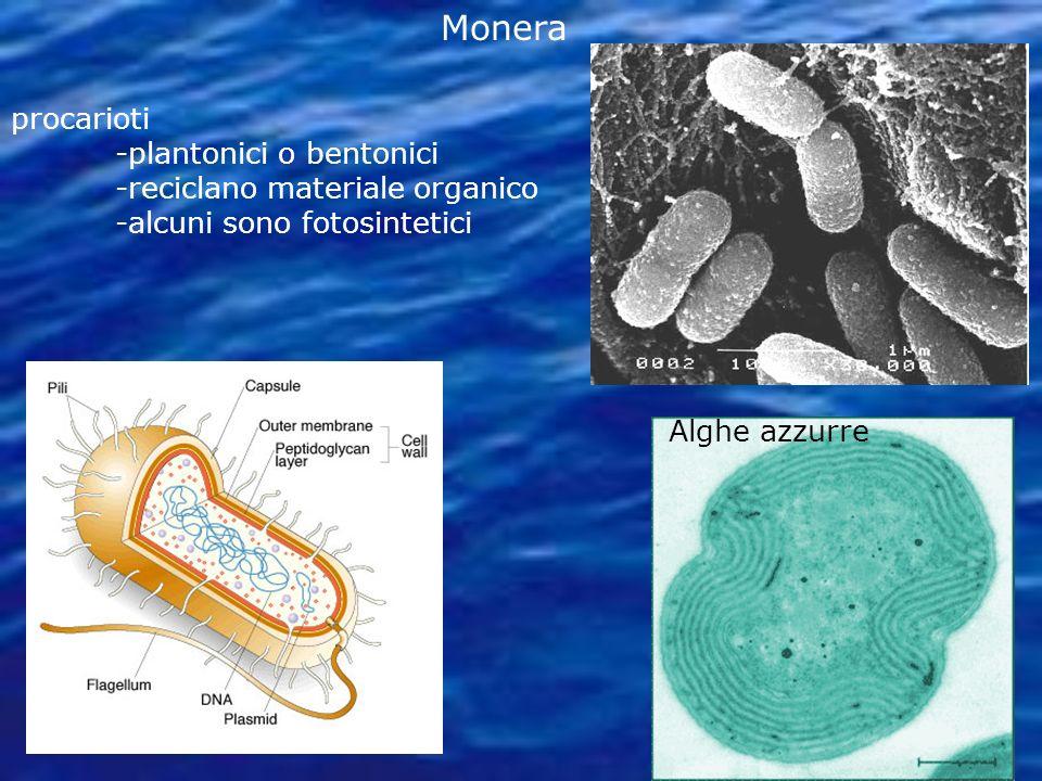 Monera procarioti -plantonici o bentonici