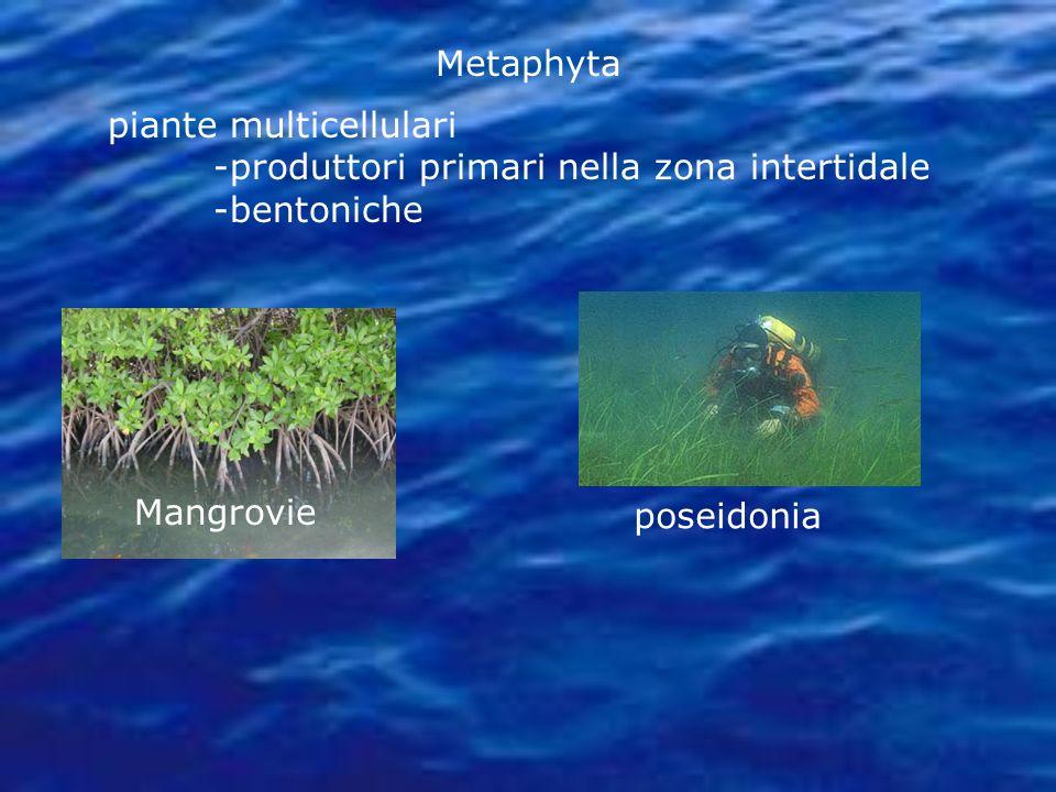 piante multicellulari -produttori primari nella zona intertidale