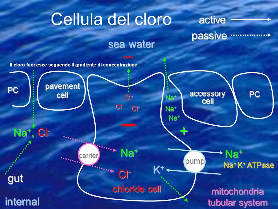 Cellula del cloro + active passive sea water Na+, Cl- Na+ Na+ K+ Cl-