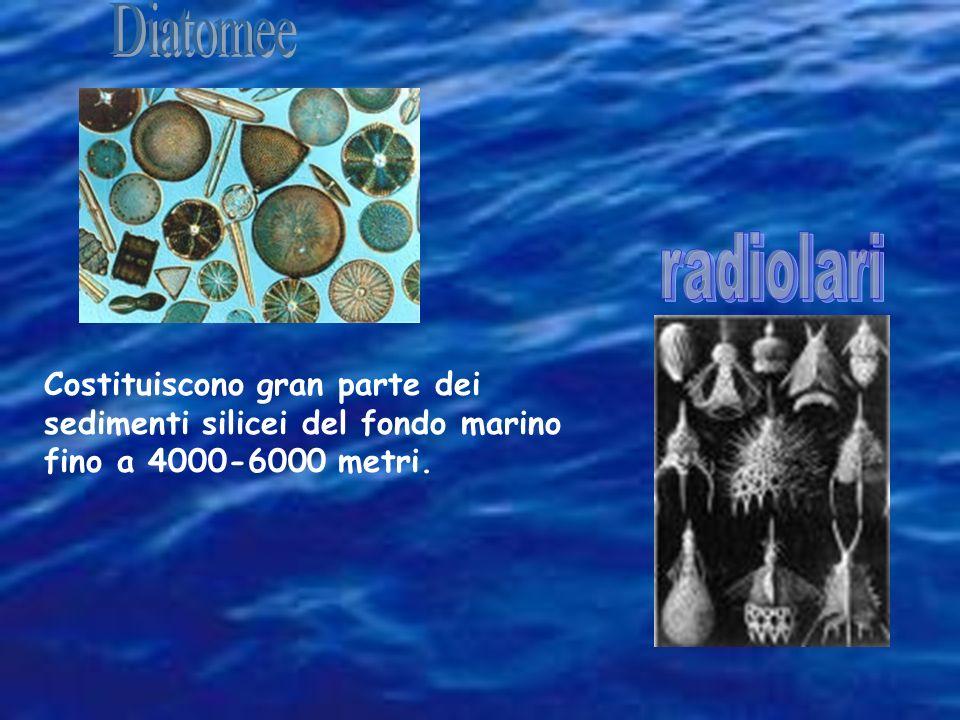 Diatomee radiolari.