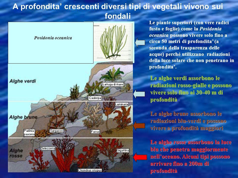 A profondita' crescenti diversi tipi di vegetali vivono sui fondali