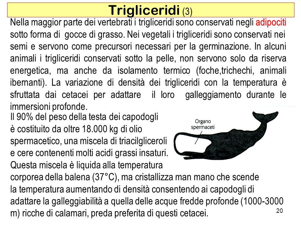 Trigliceridi (3) Nella maggior parte dei vertebrati i trigliceridi sono conservati negli adipociti.