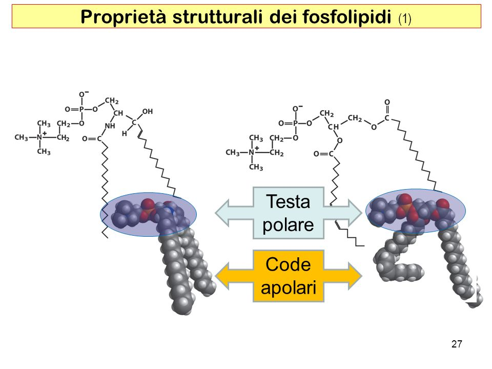 Proprietà strutturali dei fosfolipidi (1)