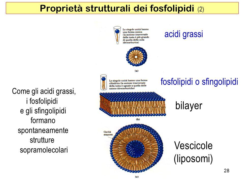 Proprietà strutturali dei fosfolipidi (2)