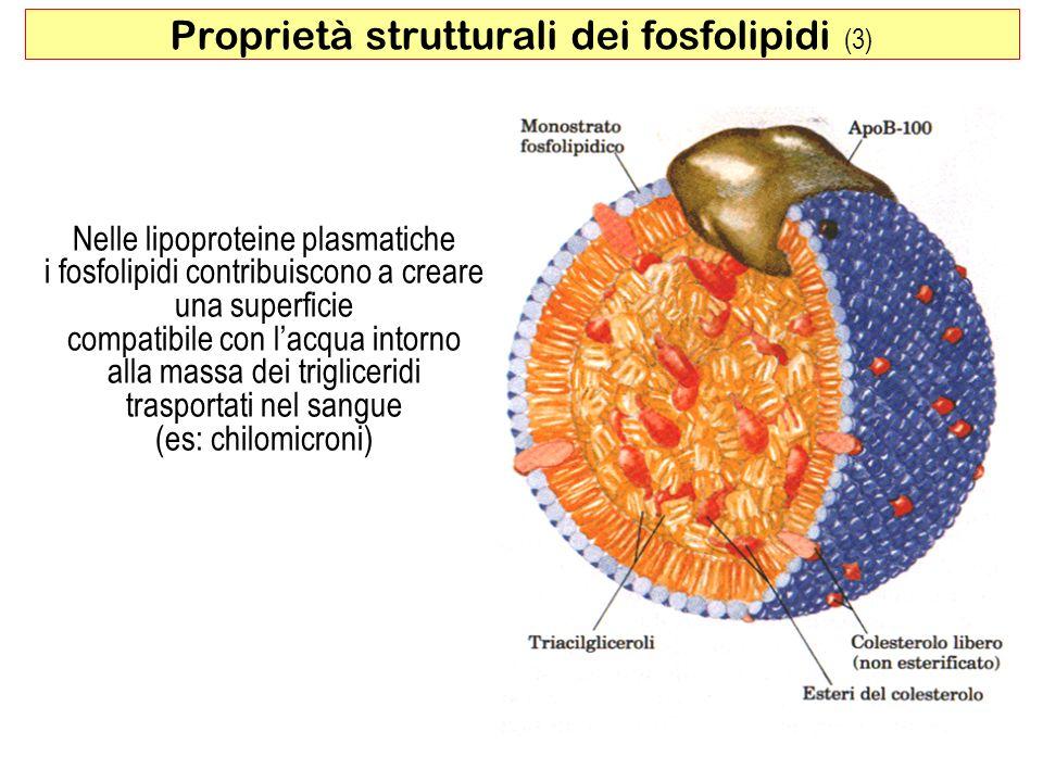Proprietà strutturali dei fosfolipidi (3)