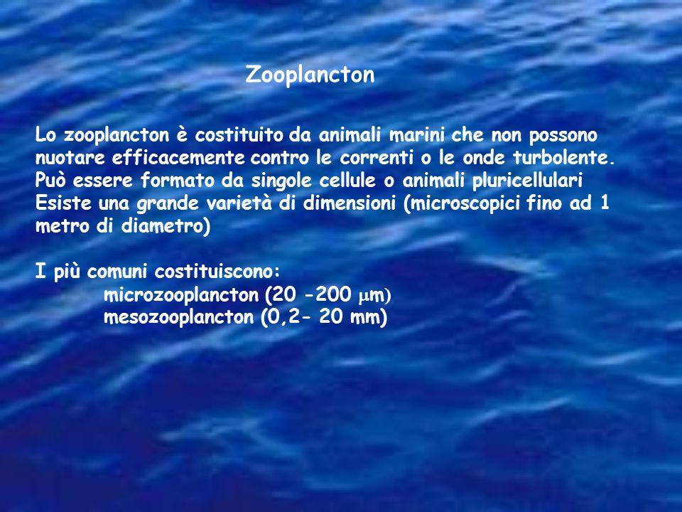 Zooplancton Lo zooplancton è costituito da animali marini che non possono nuotare efficacemente contro le correnti o le onde turbolente.