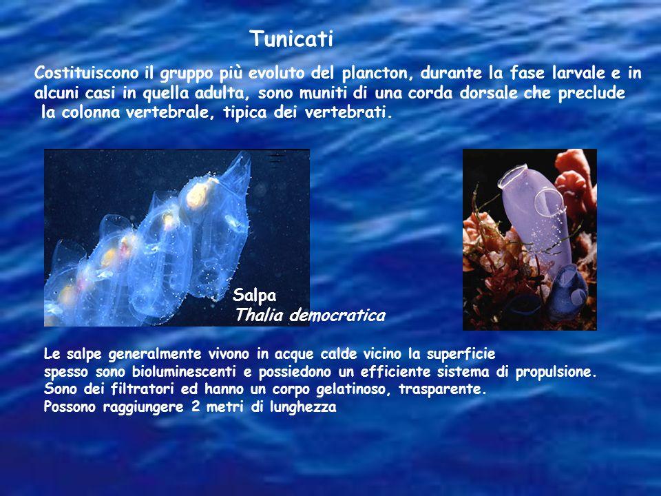 Tunicati Costituiscono il gruppo più evoluto del plancton, durante la fase larvale e in.