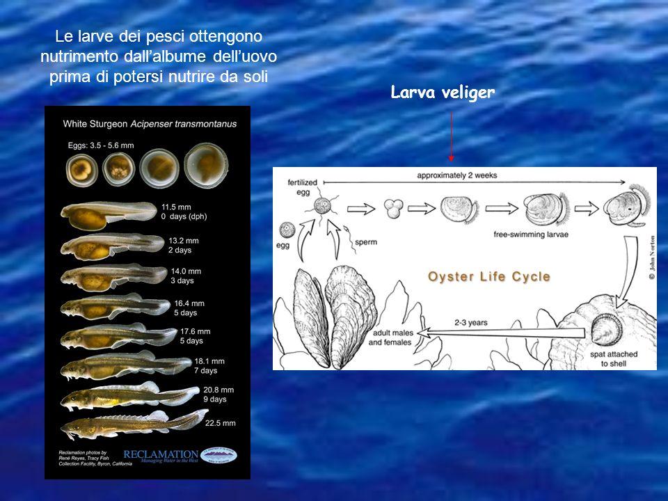 Le larve dei pesci ottengono nutrimento dall'albume dell'uovo prima di potersi nutrire da soli