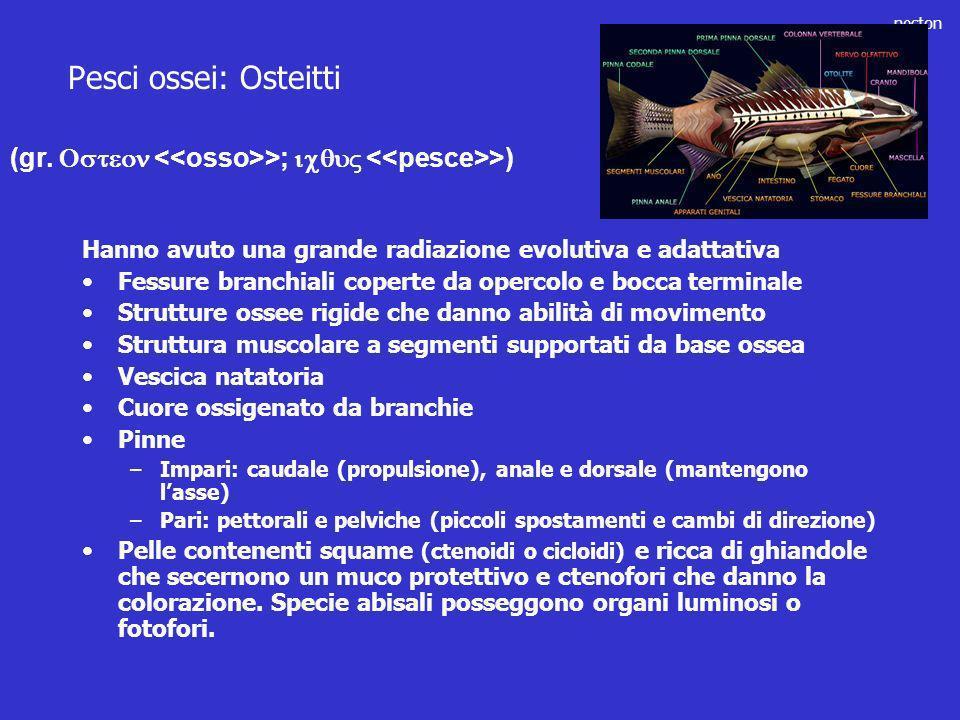 Pesci ossei: Osteitti (gr. Osteon <<osso>>; icqu <<pesce>>) Hanno avuto una grande radiazione evolutiva e adattativa.