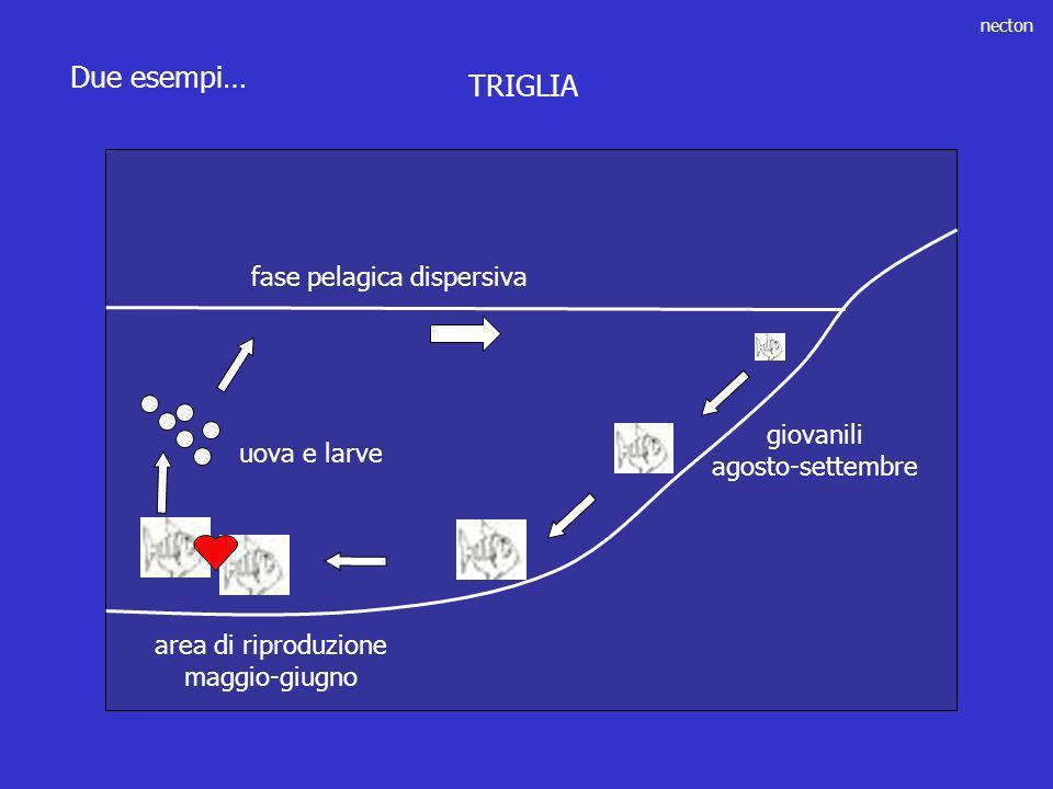 fase pelagica dispersiva