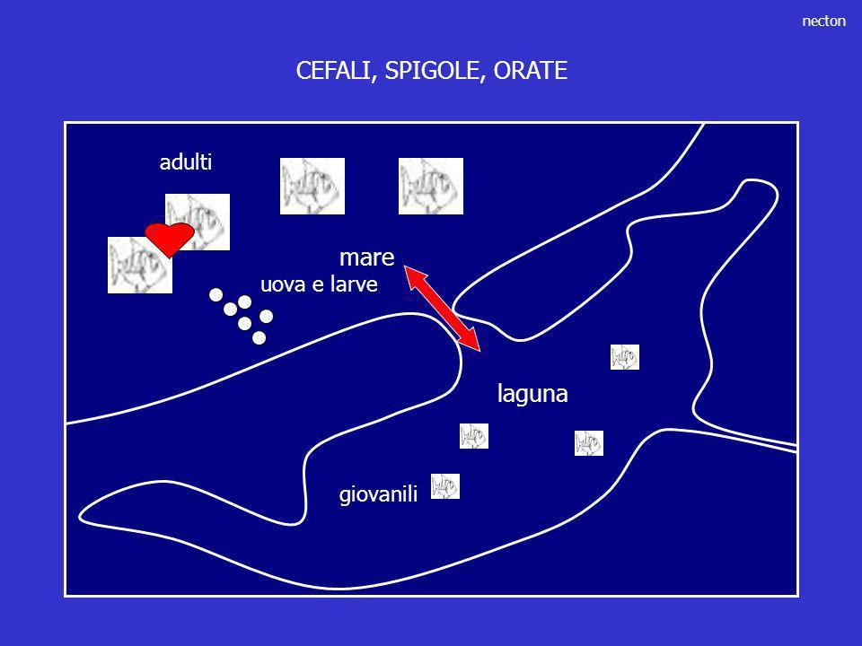CEFALI, SPIGOLE, ORATE adulti mare uova e larve laguna giovanili