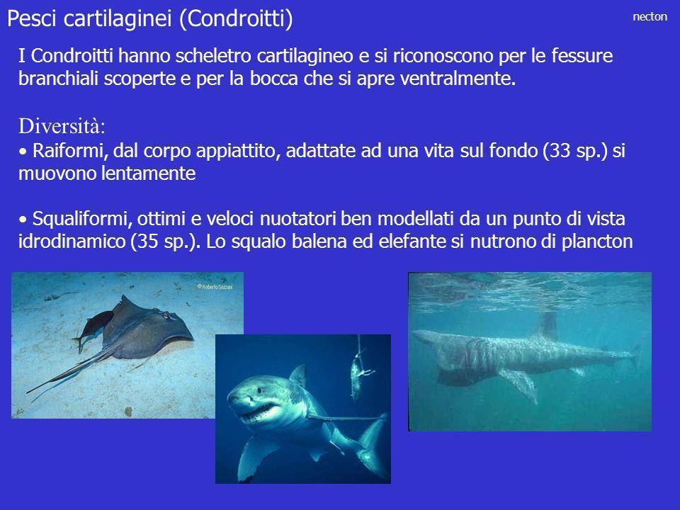 Pesci cartilaginei (Condroitti)