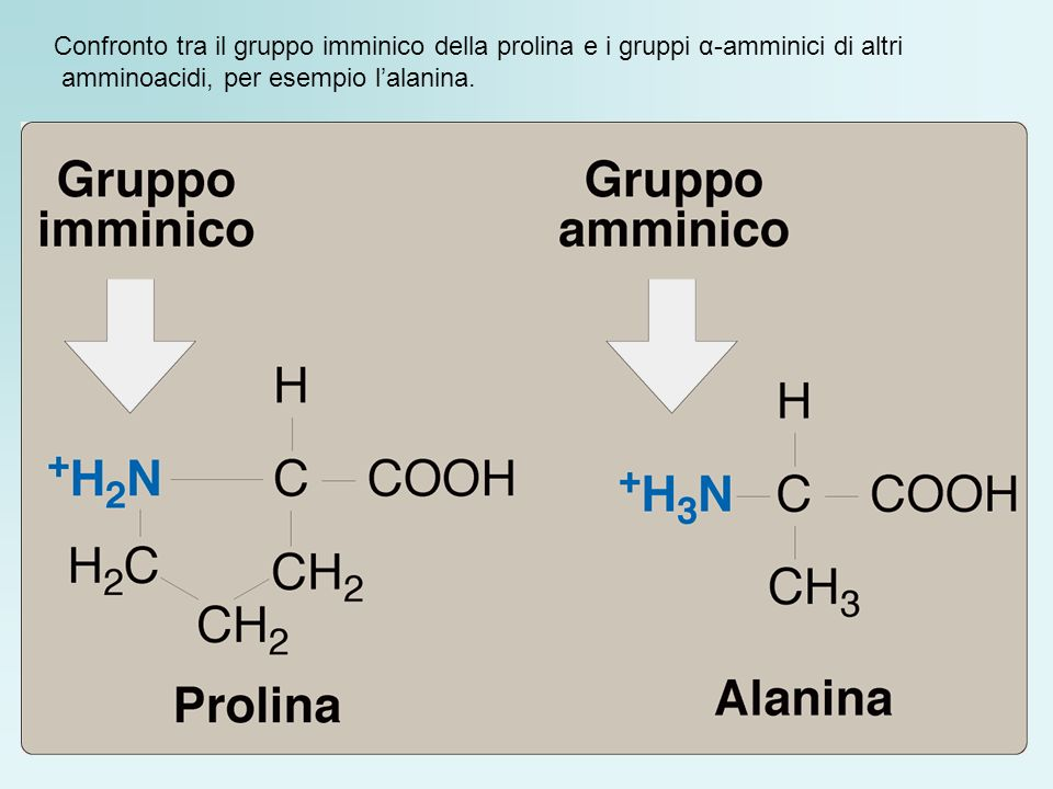 Confronto tra il gruppo imminico della prolina e i gruppi α-amminici di altri