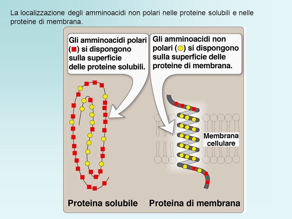 La localizzazione degli amminoacidi non polari nelle proteine solubili e nelle