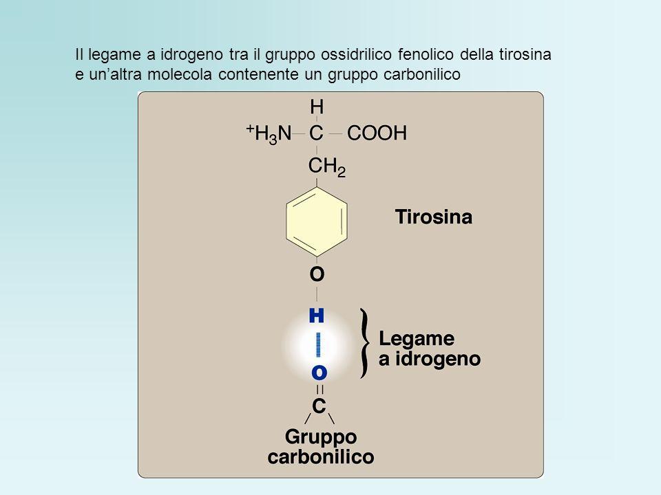Il legame a idrogeno tra il gruppo ossidrilico fenolico della tirosina