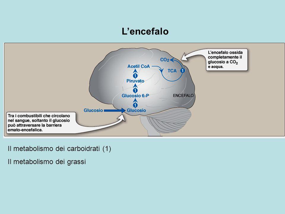 L'encefalo Il metabolismo dei carboidrati (1)