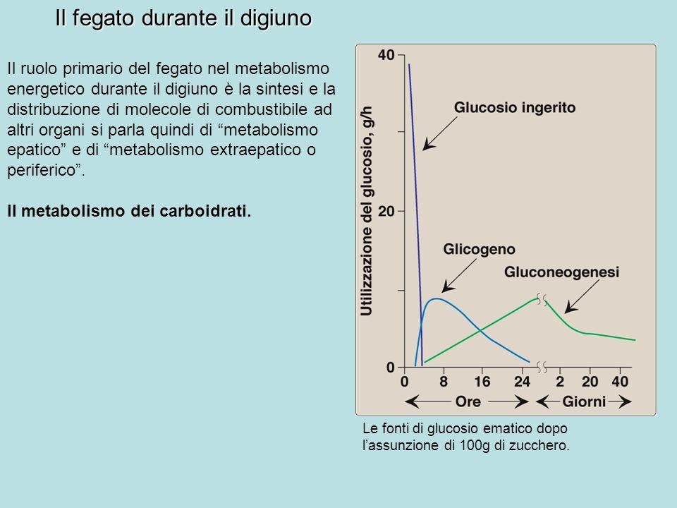 Il fegato durante il digiuno