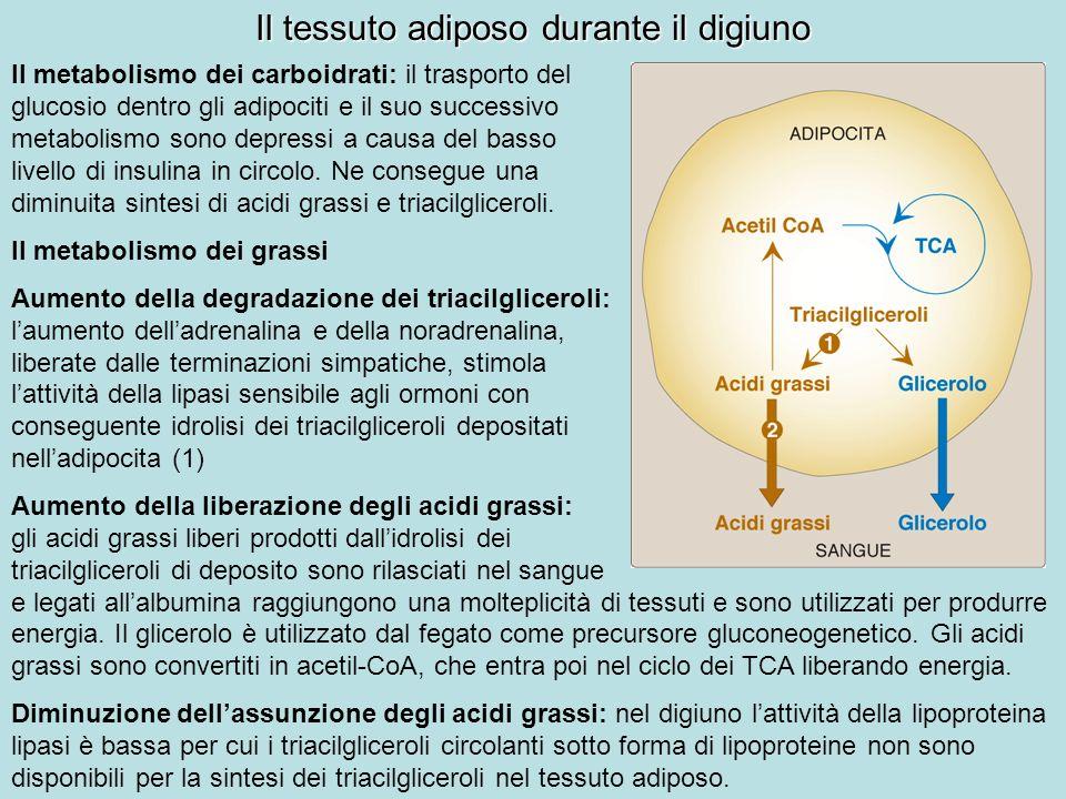 Il tessuto adiposo durante il digiuno