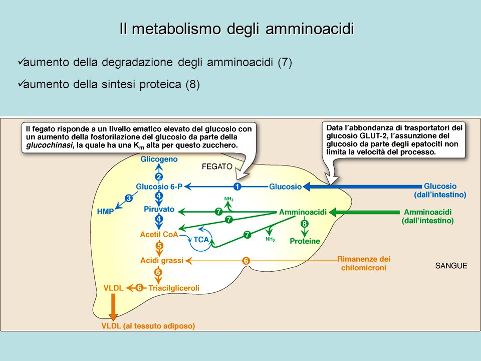 Il metabolismo degli amminoacidi