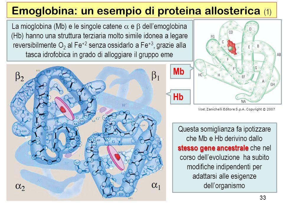Emoglobina: un esempio di proteina allosterica (1)