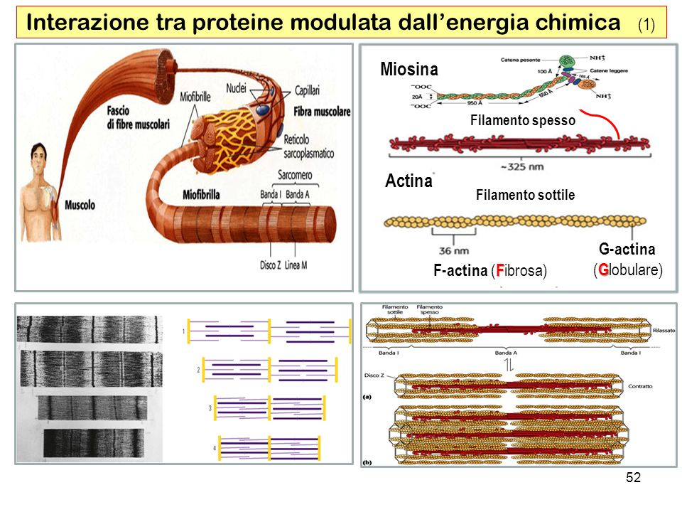 Interazione tra proteine modulata dall'energia chimica (1)