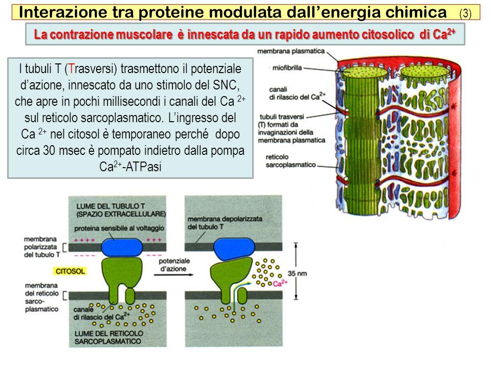 Interazione tra proteine modulata dall'energia chimica (3)