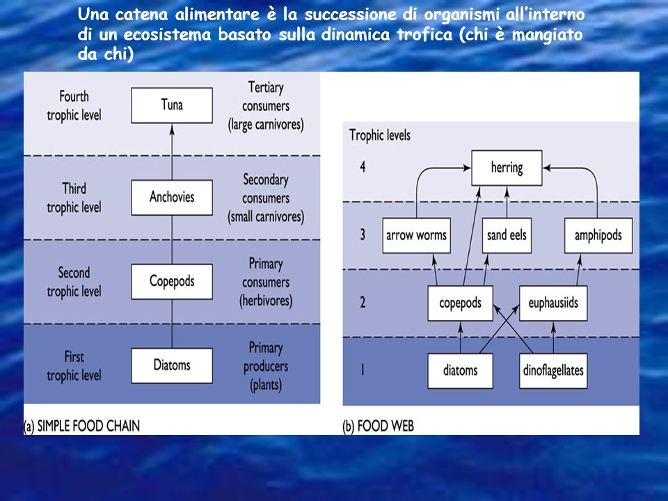 Una catena alimentare è la successione di organismi all'interno di un ecosistema basato sulla dinamica trofica (chi è mangiato da chi)