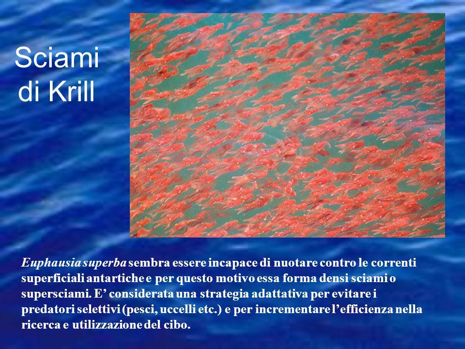 Sciami di Krill