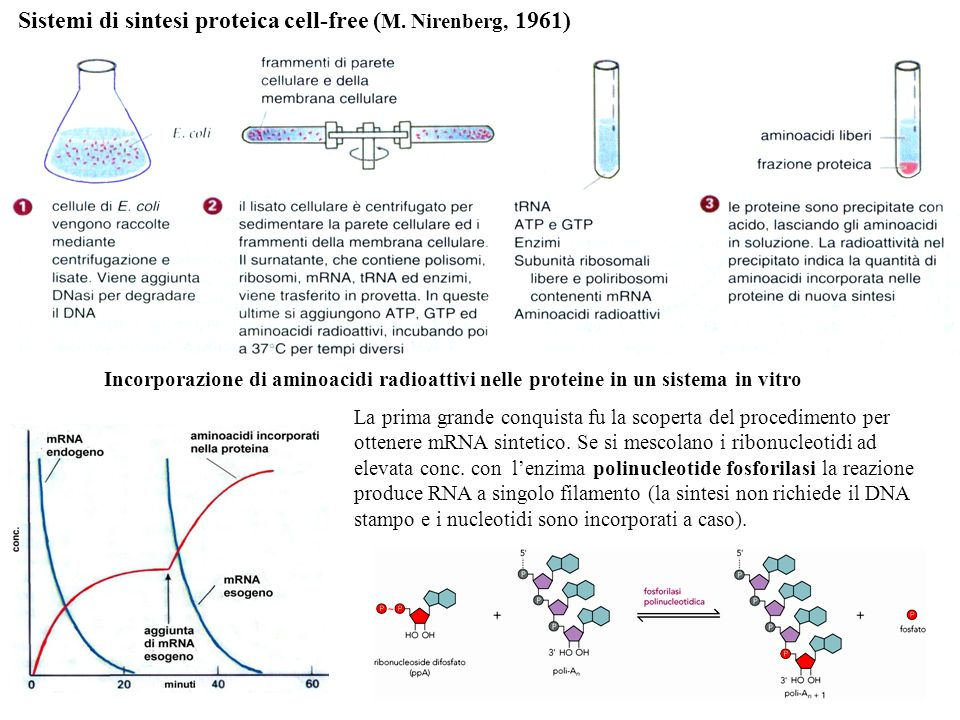 Sistemi di sintesi proteica cell-free (M. Nirenberg, 1961)