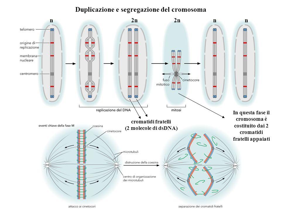 Duplicazione e segregazione del cromosoma