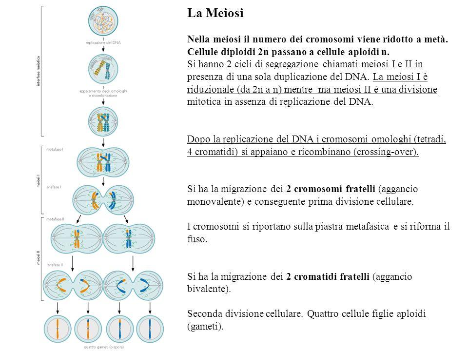 La Meiosi Nella meiosi il numero dei cromosomi viene ridotto a metà.