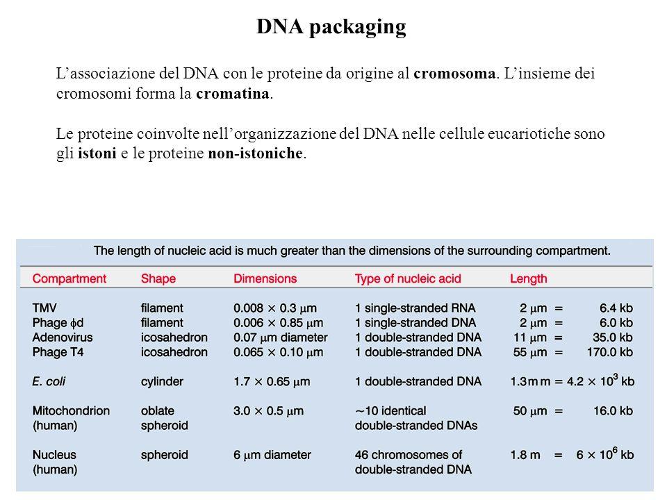 DNA packagingL'associazione del DNA con le proteine da origine al cromosoma. L'insieme dei cromosomi forma la cromatina.