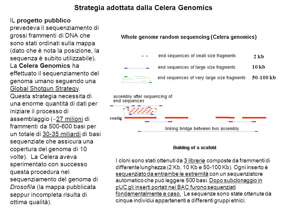 Strategia adottata dalla Celera Genomics