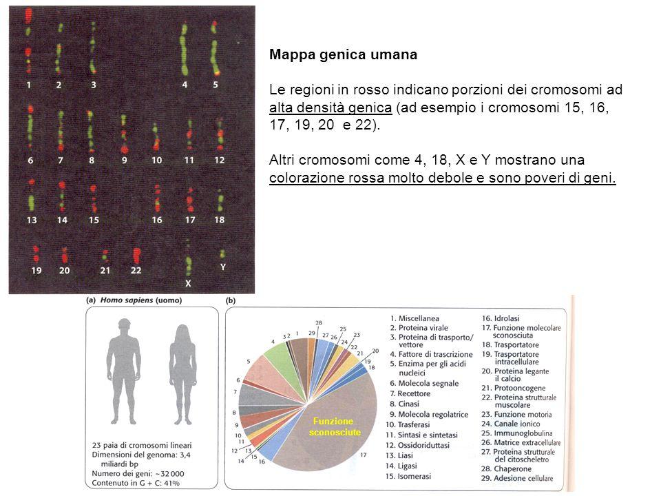 Mappa genica umana Le regioni in rosso indicano porzioni dei cromosomi ad alta densità genica (ad esempio i cromosomi 15, 16, 17, 19, 20 e 22).