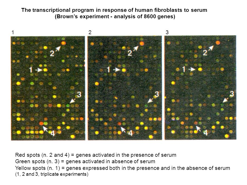 The transcriptional program in response of human fibroblasts to serum