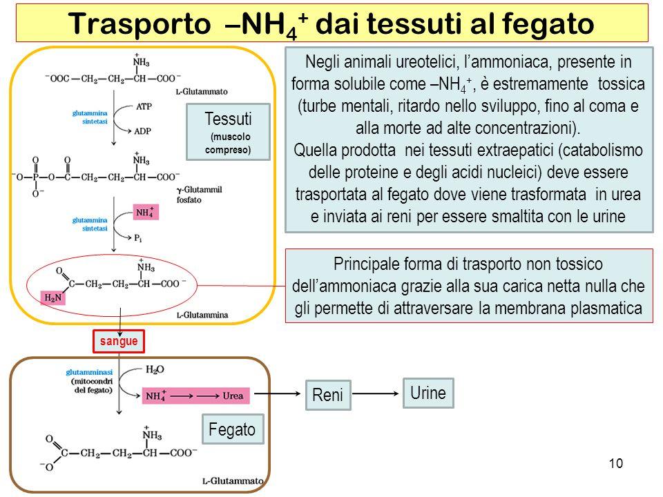 Trasporto –NH4+ dai tessuti al fegato