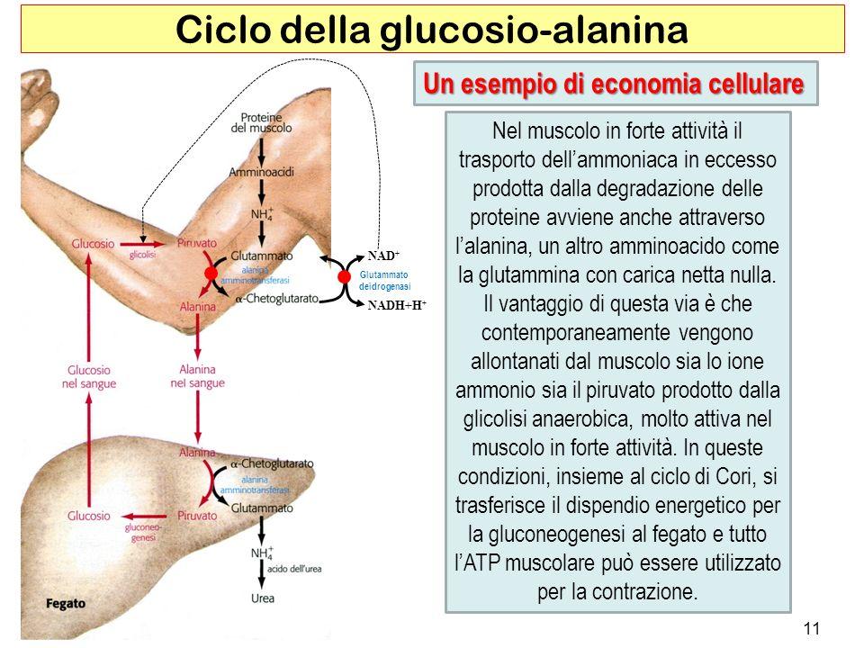 Ciclo della glucosio-alanina