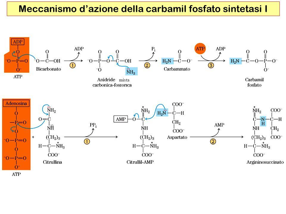 Meccanismo d'azione della carbamil fosfato sintetasi I