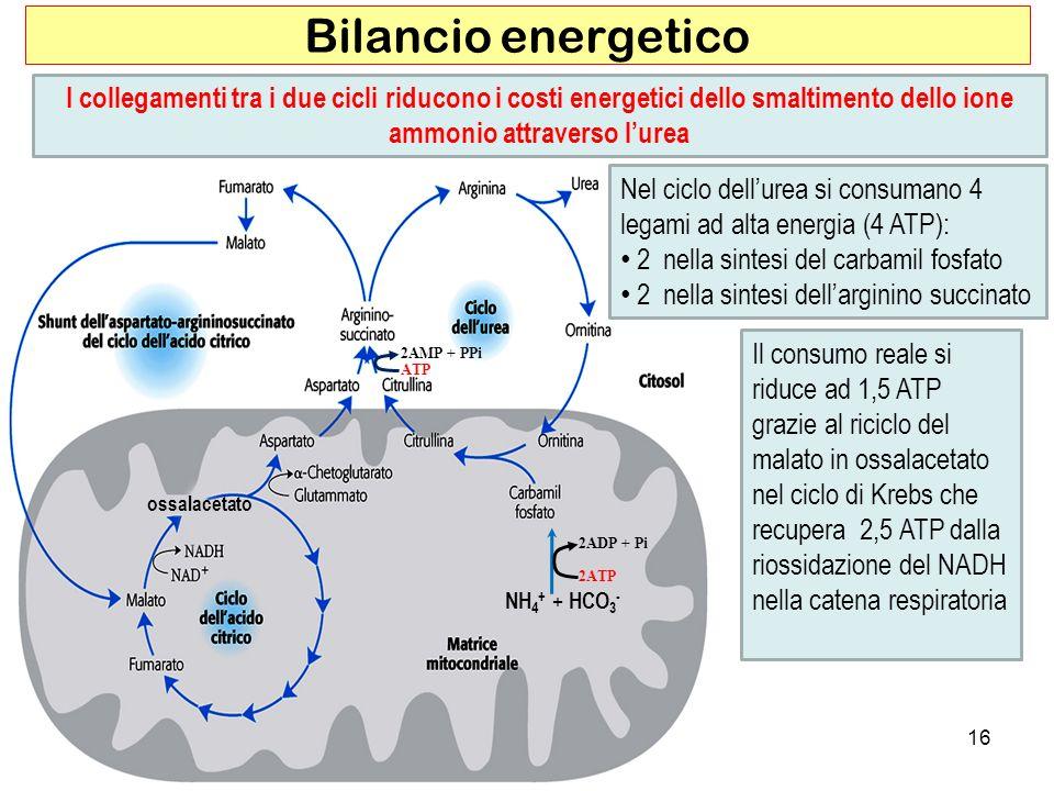 Bilancio energetico I collegamenti tra i due cicli riducono i costi energetici dello smaltimento dello ione ammonio attraverso l'urea.