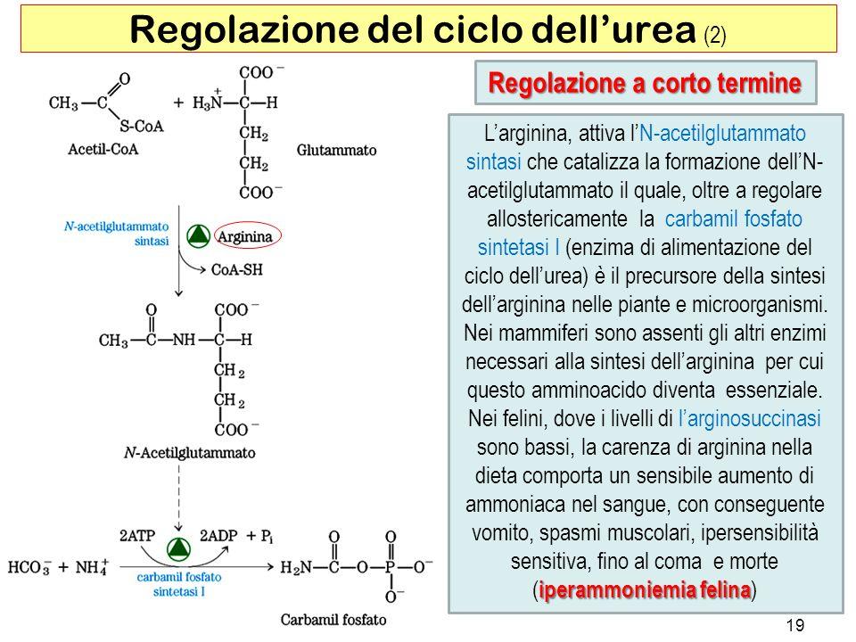 Regolazione del ciclo dell'urea (2)